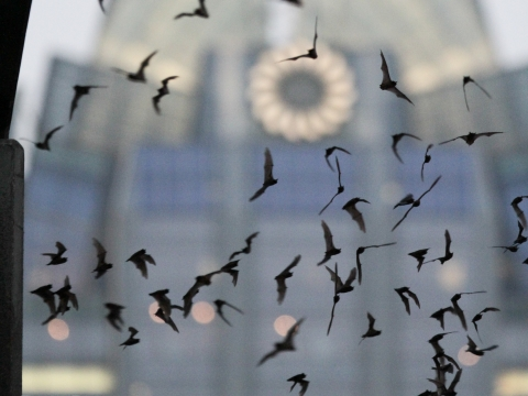 Bats Under South Congress Bridge